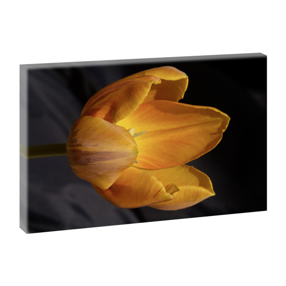 Leinwandbild Orange Tulpe